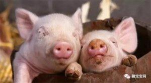 养猪常见的九大误区需重视