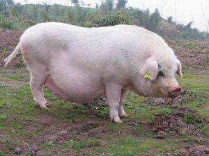 【技术】怎么避免母猪化胎?母猪化胎的防治措施