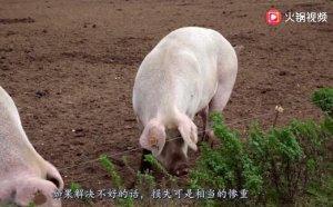 中国停购3000吨猪肉,美国上百农场破产,美国农民损失惨重!