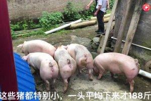 老板迫于猪瘟的影响,早早就把猪卖了