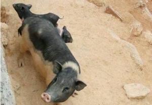 农村青年回乡大山上养猪,40头猪赚了10万元!
