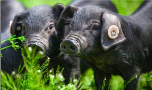带动贫困户共同致富 许世明返乡办起养猪合作社
