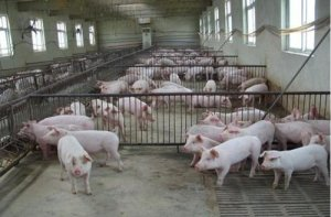将非瘟挡在门外,20条猪场建设建议