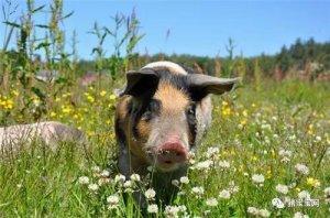食欲下降,猪吃得少了?这如何解决?