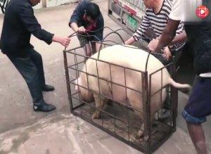 实拍农村卖了2头肥猪,邻居帮忙抓猪,猜猜能卖多少钱
