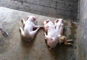 【技术】如何鉴别与管理病弱猪?减少养猪场损失
