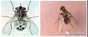 苍蝇会不会把非洲猪瘟传给猪?
