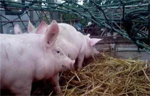 澳洲动物疫病专家分享非瘟诊断与检测技术