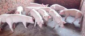 夏季,猪场把小苏打用在猪身上,效果超乎你想像!