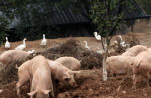 """让绿色的猪肉摆上餐桌,农民投资70万养100头""""健康猪""""致富"""