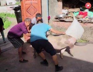 老汉去乡坝头买猪,逮肥猪上车差点受伤