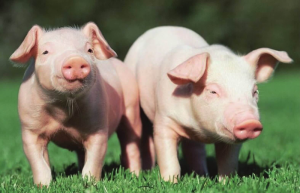 怎样给小猪补铁最正确?