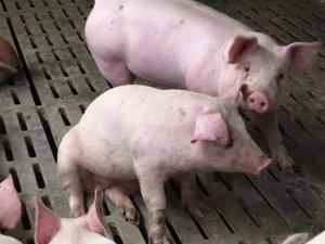 【技术】猪场育肥猪头号杀手!夏季呼吸道疾病如何防治?