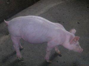【技术】猪肚子胀气是怎么回事?胀气该怎么办?