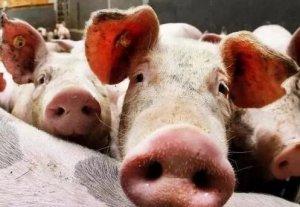 不只是中国,全球猪价都在疯涨!