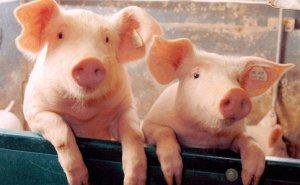 非瘟下人人平等?集团养猪、规模养猪、小散户养猪,谁会赢?