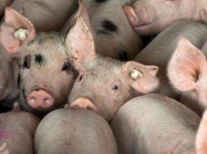 张前荣:后期猪肉价格恢复性上涨的可能性较大,但不具备大幅上涨的基础