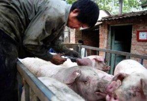 调查:养猪人目光聚焦非瘟疫苗,猪肉销量下降30%以上!防控信心、流通、猪周期、消费习惯左右未来猪市