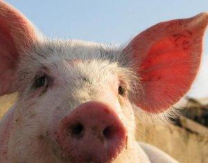 广西武宣:收购未检疫生猪 猪贩被罚4万元