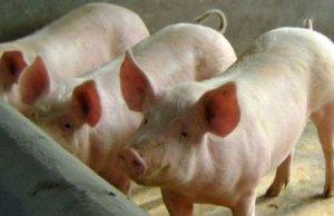 【技术】如何减少夏季高温对猪的影响?夏季养猪要做好这几点!