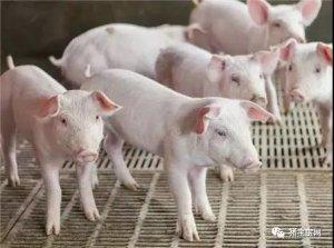 避免母猪化胎的方法有哪些?