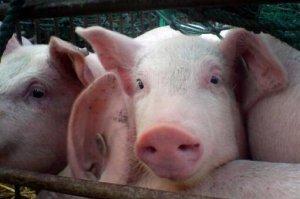 2019年养猪政策如何?养了一辈子猪您领过补贴吗?