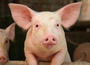 """""""非洲猪瘟病毒注射剂""""或含槟榔提取物 农业农村部回应称""""尚不能生产"""""""