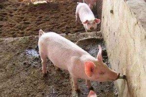 夏季养猪不掉膘,实用技巧要记牢