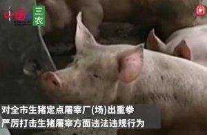 临沂重拳查处违法生猪屠宰,两周查获生猪多达千余头!