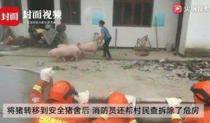 """消防员转移震中双河镇30多头生猪,只因猪圈成""""危房"""""""