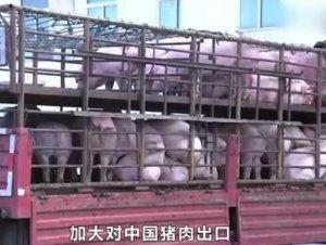 对中国出口猪肉查出瘦肉精,加拿大这回跑不掉了,巴西将迎来机遇