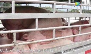 贺州截获生猪