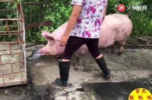养了八年的老母猪,担心得猪瘟被迫卖掉