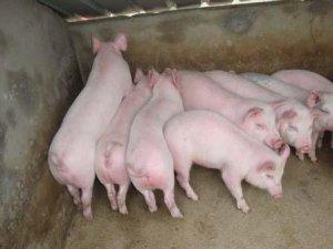 清场剩余小猪该如何来养