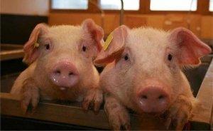 夏季猪呼吸道疾病频发的原因,以及防治措施!