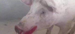 猪死后鼻子和嘴有血是什么病?见过吗?