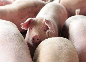 你是不是踩了很多养猪人驱虫误区呢?