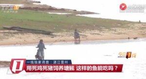 广东湛江雷州:用死鸡死猪饲养塘鲺 这样的鱼能吃吗?