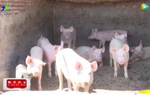 锡林浩特市重拳出击整治生猪污染