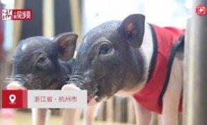 还在撸猫?杭州现在都可以撸猪了