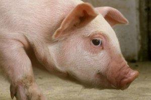 如何尽早发现非洲猪瘟?怎样排查?这些细节很关键!