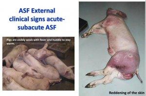 养户必读!各类型非洲猪瘟临床特征高清图谱(内附大量高清多图)