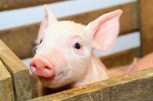 天热了猪场要做好,猪链球菌病的综合防控!
