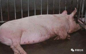 【管理】临产母猪如何养才正确?