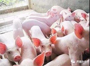 【技术】引进仔猪的时候我们应该怎样预防猪病发生?