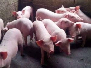 如何快速育肥生猪?快速育肥生猪的饲养要点