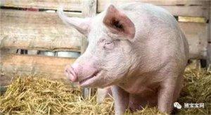 猪场管理之母猪的养殖技术要点!