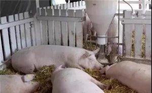 外国养猪是怎么处理粪污的?这些方法值得学习!