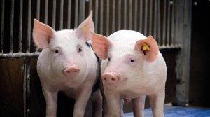 欧盟:人员才是影响非洲猪瘟传播的重要因素!