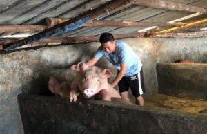 70岁的瑶族老爷爷还要养猪来维持生活